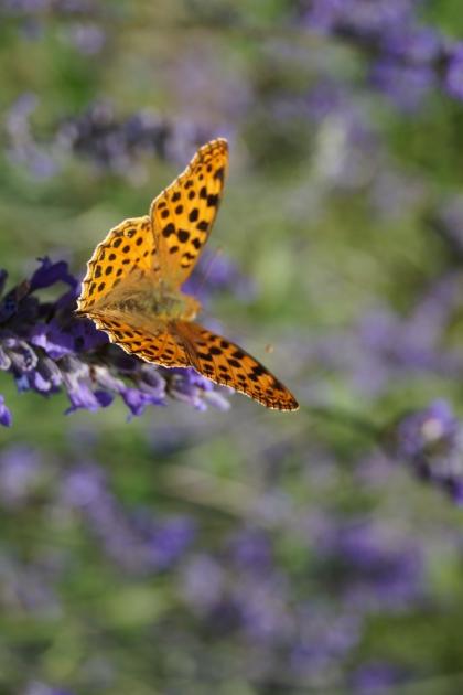 Vlinders en insecten