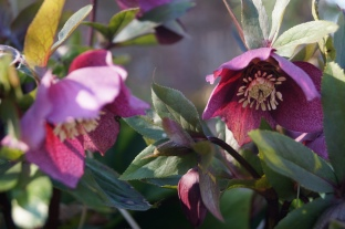 De winterroos in volle bloei | Helleborus