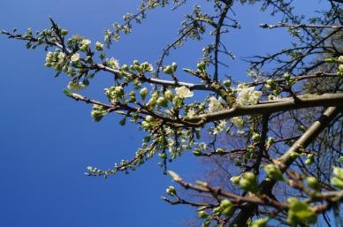 Bloesem van de pruimenboom